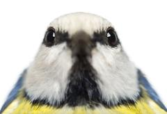 Close-up of a Blue Tit facing, Cyanistes caeruleus, isolated on white Stock Photos