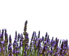Lavender flower blooming scented fields Stock Photos