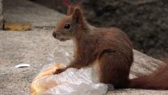 Hungry squirrel feeding with fast food leftovers Stock Footage
