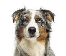 Close-up of an wall-eyed Australian Shepherd looking at the camera,1,5 year old, - stock photo