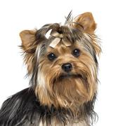 Close-up of a Yorkshire Terrier wearing a bow, looking at the camera, 7 months o Stock Photos