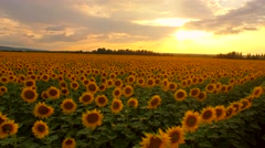 Beautiful Sunset Over Sunflower Field Aerial Panning Close Up Pan Beauty Stock Footage