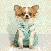 Chihuahua wearing a green dress, sitting on fancy background Stock Photos