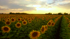 Agriculture Summer Harvest Food Concept Sun Flower Field Sunset Orange Colors - stock footage