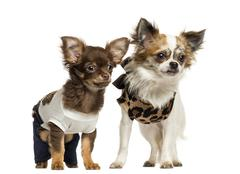 Dressed up Chihuahua puppies standing, 3 and 9 months old, isolated on white - stock photo