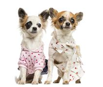 Two dressed-up Chihuahuas sitting, 9 months old, isolated on white - stock photo