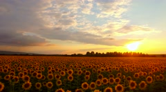 Beautiful Sunset Over Sunflower Field Fly Over Pan Aerial Close Up Drone Shot Stock Footage