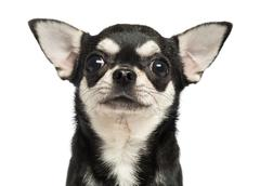 Close-up of a Chihuahua, 7 months old, isolated on white - stock photo
