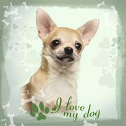 Close-up of a Chihuahua on designed background, 7 months old Stock Photos