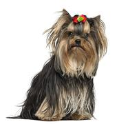 Yorkshire Terrier wearing a bow, sitting, 1 year old, isolated on white Stock Photos