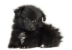 German Spitz puppy lying down, 8 weeks old, isolated on white - stock photo