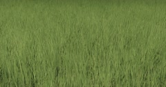 4k grass in wind,natural scenery. Stock Footage