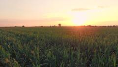 Sunset On Summer Corn Field Agriculture Food Production Aerial Sunrise New Stock Footage