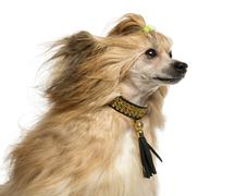 Close-up of a Chinese Crested Dog, 30 months old, isoalted on white - stock photo