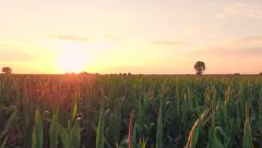 Summer Sunset Over Corn Field Aerial Close Fly By Shot Agriculture Healthy Stock Footage