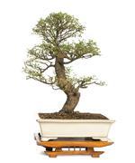 Chinese Elm bonsai tree, Ulmus, isolated on white - stock photo