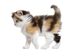 Side view of a Highland straight kitten walking, alert, isolated on white Stock Photos