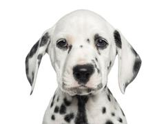 Close-up of a Dalmatian puppy facing, looking at the camera, isolated on white - stock photo