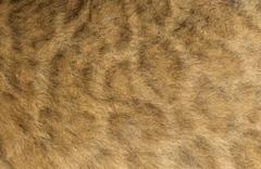 Macro of a Lion cub's fur, 16 days old Stock Photos