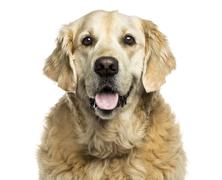 Clsoe-up of a Golden retriever panting, isolated on white Stock Photos