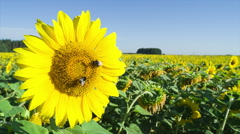 Bee collects nectar and pollinates sunflower. Closeup. Stock Footage