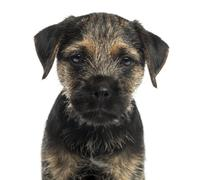 Close-up of a Border Terrier puppy, looking at the camera, isolated on white - stock photo