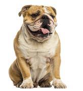 English Bulldog sitting, panting, isolated on white - stock photo