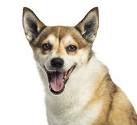 Close-up of a Norwegian Lundehund panting, isolated on white - stock photo