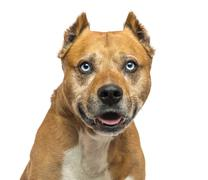American Staffordshire Terrier, panting, isolated on white - stock photo
