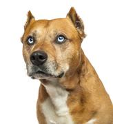 Close-up of an American Staffordshire Terrier, looking up, isolated on white Stock Photos