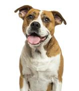 Close-up of an American Bulldog panting, isolated on white - stock photo