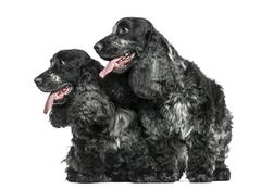 Two English Cocker Spaniel panting next to each other, isolated on white - stock photo