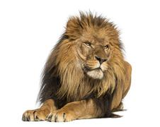 Lion lying down, looking away, Panthera Leo, 10 years old, isolated on white Kuvituskuvat