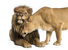 Lion and lioness cuddling, Panthera leo, isolated on white Kuvituskuvat