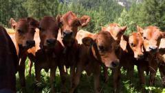 Tarine heifers looking at camera Stock Footage