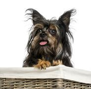 Close-up of a Mixed breed dog between Chihuahua and Yorkshire, in a basket, 9 mo - stock photo