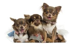 Group of dressed-up Chihuahuas panting, looking at the camera, isolated on white Stock Photos