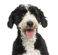 Close-up of a Crossbreed dog panting, 2 years old, isolated on white Stock Photos