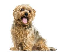 Yorkshire Terrier sitting, panting, 5 years old, isolated on white Stock Photos