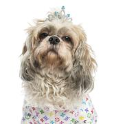 Close-up of a dressed-up Shih Tzu wearing a diadem, 4 years old, isolated on whi Stock Photos