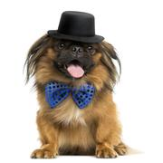 Front view of a Pekingese with a bow tie and top hat, panting, isolated on white Stock Photos