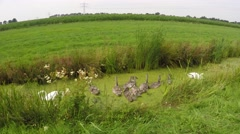 Swans and chicks cygnus at a ditch 4k - stock footage