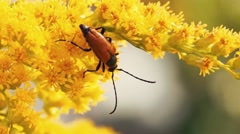 Insect longhorn beetle On Flowers macro Stock Footage