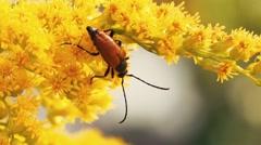 Insect longhorn beetle On Flowers macro Stock Footage