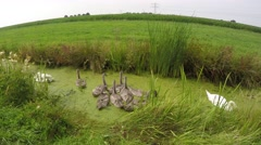 Swans and chicks cygnus eating at a ditch 4k - stock footage