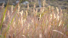Grass swaying in the breeze - stock footage