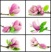 Magnolias on a white background - stock photo