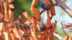 Cherry branch with dry berries Stock Footage
