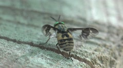 Fly with variegated wings sitting on a tree stump in the forest Stock Footage