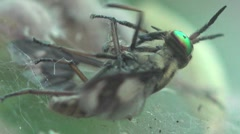 Fly Tephritidae with variegated wings fell into the web of a spider, paralyzed Stock Footage